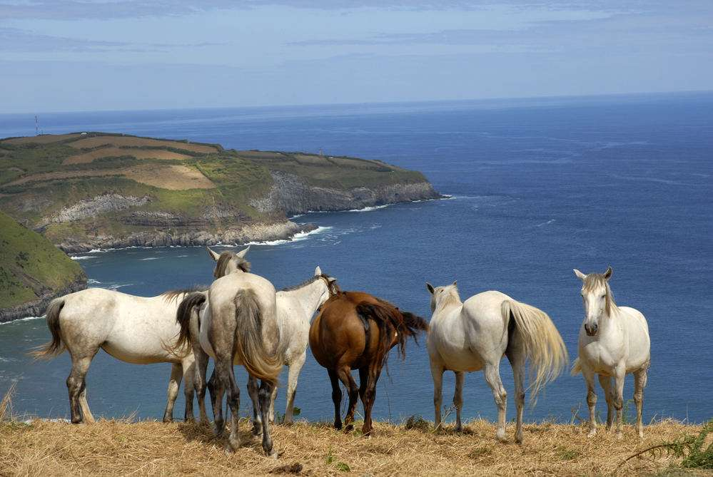 horses at the coast of azores in sao miguel island, Portugal